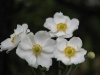Сасънка  - бяла