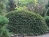 cotoneaster-adpressus