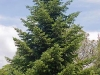 abies-cephalonica
