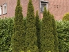 thuja-occidentalis-smaragd