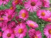 pink-flower-aster