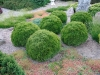thuja_occidentalis_kobold