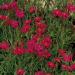 Карамфил червен