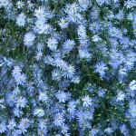 синя астра