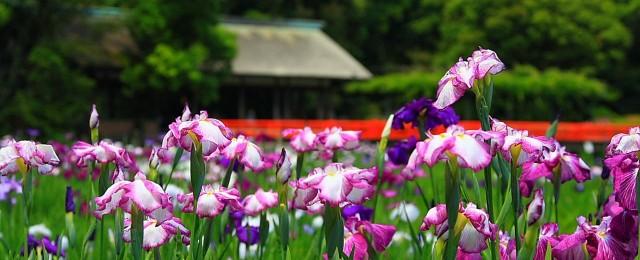 iris-flower