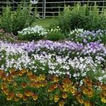 градина с теменужки