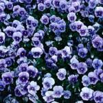 синя виола