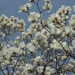 Magnolia stelatta