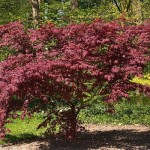 acer-palmatum