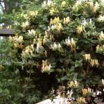 lonicera-japonica