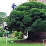 Тисово дърво