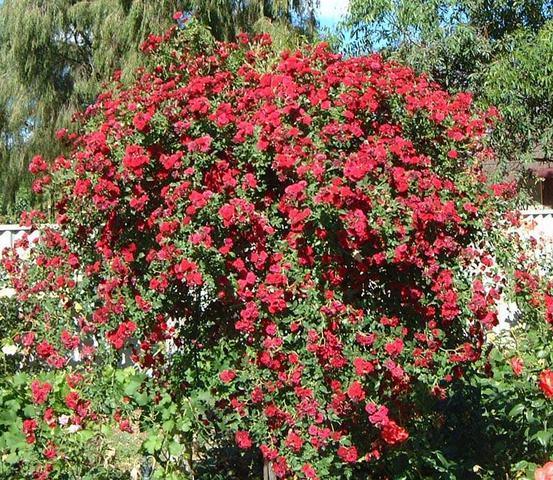 плачеща роза