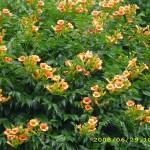 оранжева текома