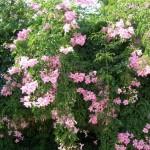 розова текома