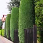 колоновиден кипарис