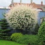 градина с върба