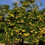 текома дърво