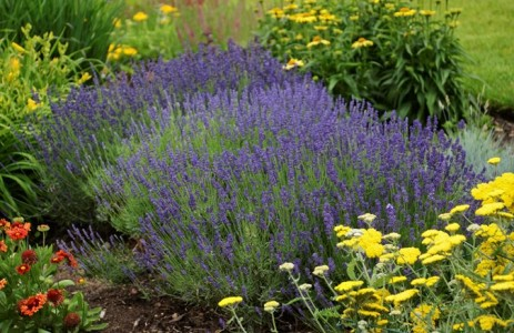 lavender-hidcote-ball-horticultural-company_11720